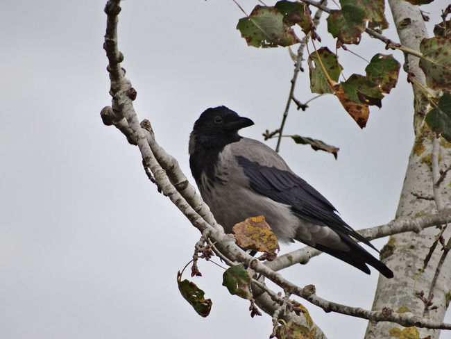Crow sitting on a branch - Serchio River Animal Themes Animal Wildlife Animals In The Wild Beauty In Nature Bird Branch Corvus Cornix Crow In Autumn Crow On A Branch Crow Perched On A Branch Crow Perched On A Tree Crow Sitting On A Branch Nature Outdoors Perching Tree Pet Portraits