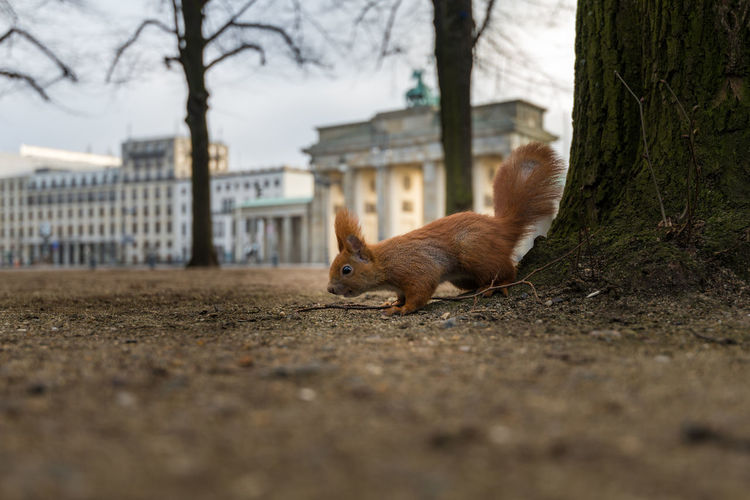 Side View Of Squirrel On Ground