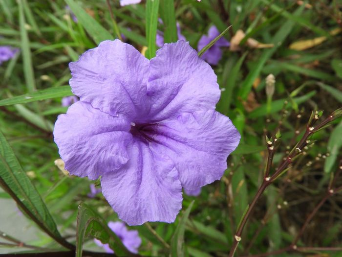 Purple Flower Ruellias Wild Petunia Nature