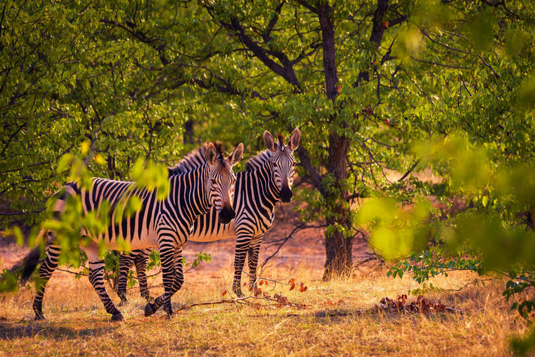 View of zebra in the forest