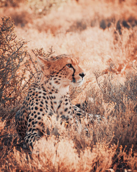 Close-up of cheetah resting amidst plants