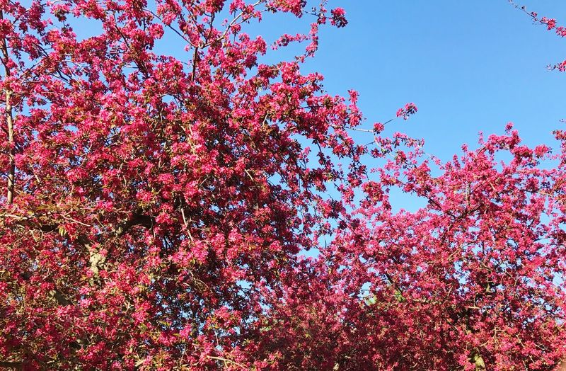 Tree Red Pink