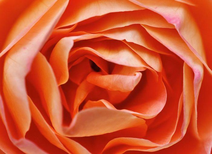 Full frame shot of orange rose