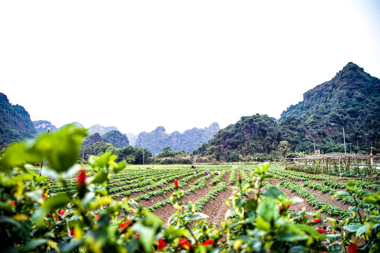 traveling Vietnam 2018 ASIA Travel Traveling Vietnam Agriculture Beauty In Nature Clear Sky Copy Space Day Environment Explore Farm Field Green Color Growth Land Landscape Mountain Nature No People Outdoors Plant Plantation Rural Scene Scenics - Nature Sky Tranquil Scene Tranquility