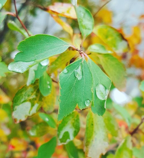 Leaf Nature Plant Green Color Close-up No People Day Growth Outdoors Beauty In Nature Freshness Autumn Colors Nature Autumn Macro
