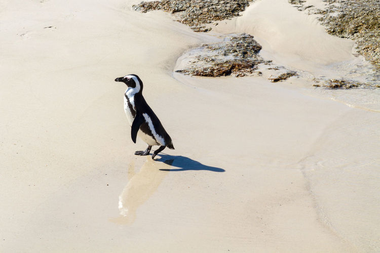 An African Penguin on the beach Africa African Penguin Animal Themes Animals In The Wild Beach Beauty In Nature Bird Boulder Beach Cute Day Horizontal Jackass Penguin Nature No People One Animal Outdoors Penguin Sand South Africa Waddling Ducks Water Zoology