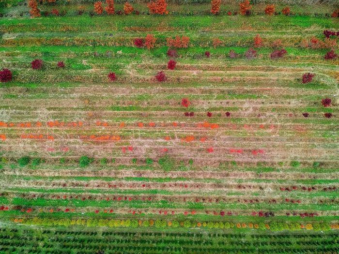 Aerial view of a tree nursery in the fall. EyeEm Selects EyeEm The Best Shots EyeEmNewHere Yellow Leaves EyeEm New Jersey EyeEm Gallery Natural Light Fall Foliage Woods New Jersey Njspots Nj EyeEm Nature Lover Beauty Dronephotography Djiglobal Djispark Drone  Dronephotography Full Frame Pattern Backgrounds Textured  No People Abstract Art And Craft Green Color Multi Colored High Angle View