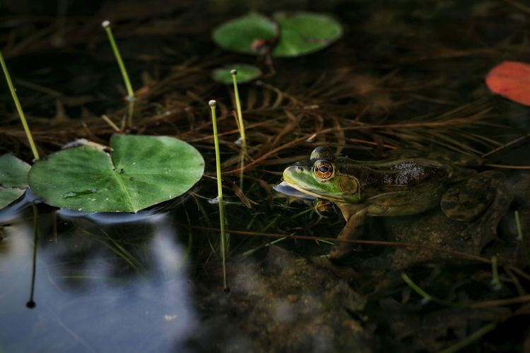 Outdoors Nature Beauty In Nature Light And Shadow Cottage Country Riverside Relaxing Weeds Ontario, Canada Water Close-up Animal Themes Frog Lily Pad 10