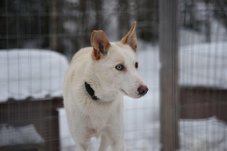 Siberian husky dog in rovaniemi, finland