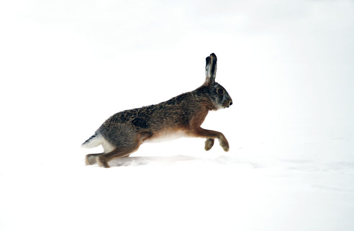 European or brown hare (lepus europaeus) running on the snow Ice Lepus Europaeus Run Snow ❄ Wildlife & Nature Winter Animal Themes Brown Hare Day Difficult Difficult Life Hare Jumping Lepus Mammal Mammals Nature No People One Animal Outdoors Snow White White Color Wild Wildlife
