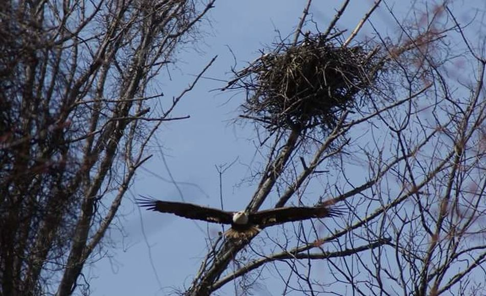 Bald Eagle Wildlife & Nature Birds In Flight Nest Building Newengland
