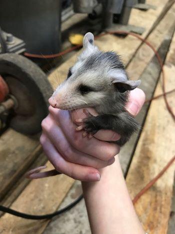 Oppossum Baby