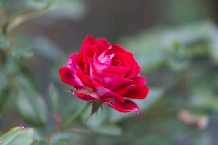 Rote Rose Nahaufnahmen Nature Day Flower Head Fragility Freigestell No People Rose - Flower Rote Rosen🌹