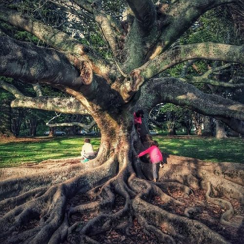 Fig Tree Nature Cornwallpark auckland newzealand android