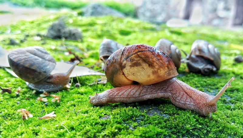 The Snail Family. Animal Themes Grass Wildlife Nature Insect Close-up No People Green Color Outdoors Beauty In Nature India Mountain Travel Photography Forest Gionee Snail Snails Macro Macro Photography Close Up Animals In The Wild One Animal Day Animal Wildlife Fragility