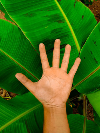 Leave Hand Human Hand Palm Leaf Banana Leaf Close-up Green Color Finger Index Finger Body Part Hand Manicure Toe Painting Fingernails Human Feet Nail Polish Knee Thigh Wrist Freezer Blooming Human Finger Nail Art Fingernail Personal Perspective Pollen Sign Language Petal Growing Banana Tree