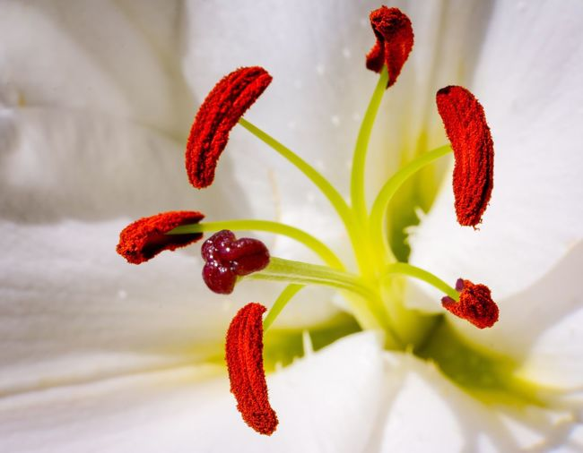 Lily Macro ... Macro Photography Macro Lily Macro Lily Plant Flower Flowering Plant Close-up Red Beauty In Nature Growth Freshness Pollen Fragility Vulnerability  No People Petal Inflorescence Nature Flower Head Stamen Focus On Foreground Outdoors