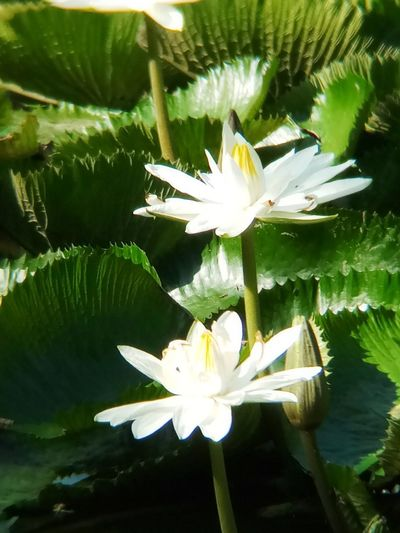 Beauty In Nature Close-up Day Flower Flower Head Flowering Plant Freshness Green Color Leaf Lotus Water Lily No People Outdoors Plant Plant Part Water Lily White Color
