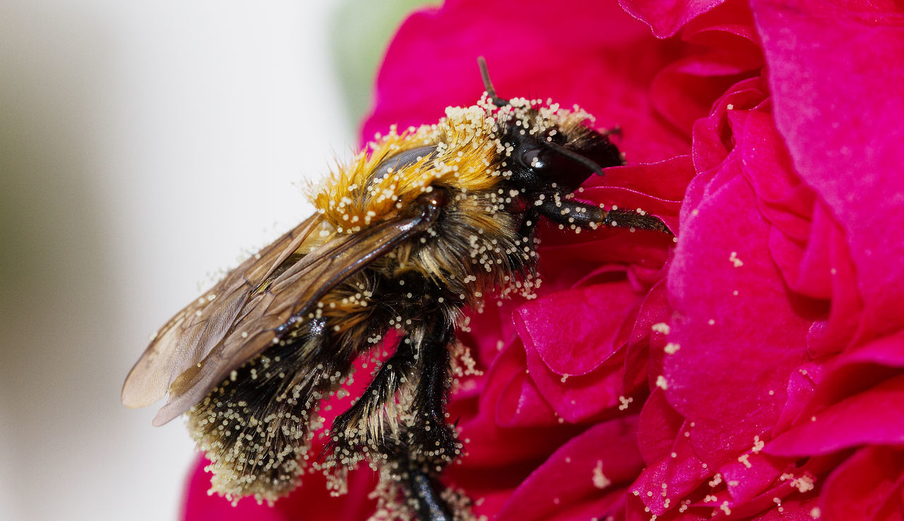 Close-Up Of Bumblebee On Red Flowers