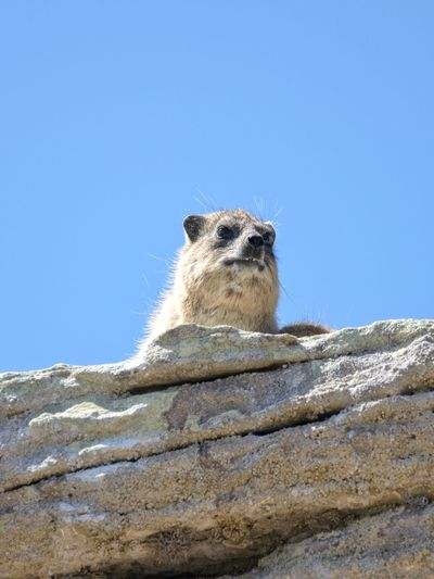 """""""what are you looking at?"""" Portrait Meerkat Clear Sky Alertness Sky Close-up Sand Dune Arid"""