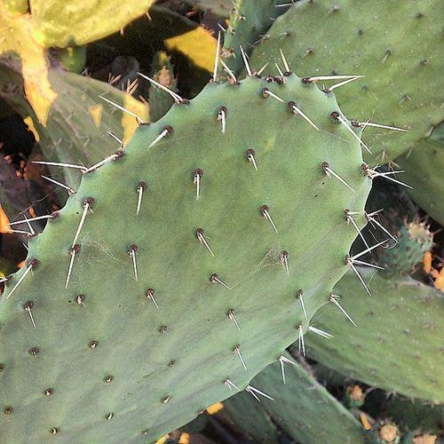صبار هندي_شوكي تين_شوكي Cactus