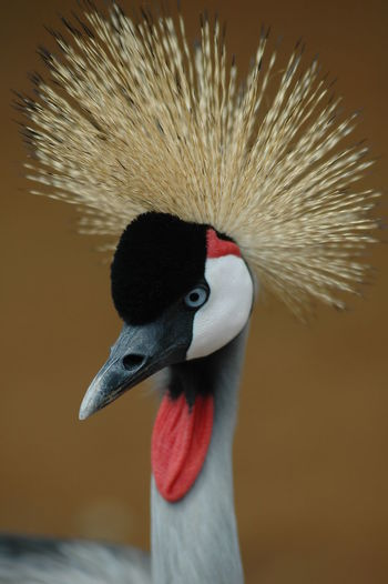 Close-up of grey crowned crane