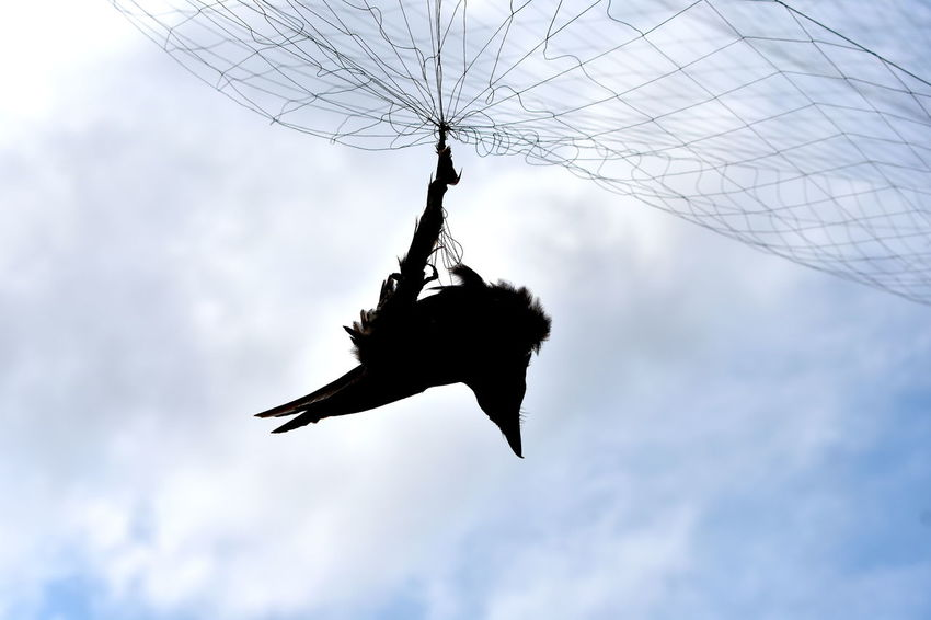 Bad Luck Aerial Net Trap Animal Themes Black Bird Black Bird Trapped In The Net Day Low Angle View Net Trap No People Outdoors Sky Sky Trap Trap Trap In Sky Unlucky Bird