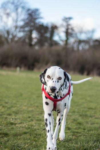 Portrait of dalmatian dog walking on grass