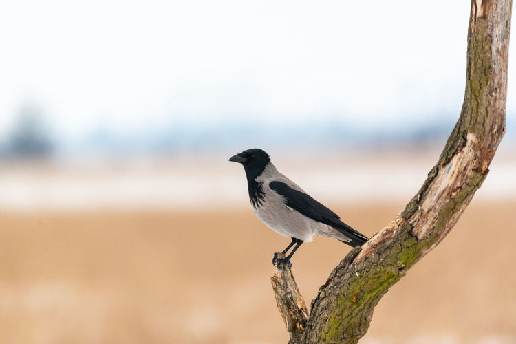Crow Hooded Crow Animal Bird Animal Themes Vertebrate Animal Wildlife Animals In The Wild One Animal Perching Focus On Foreground Day No People Branch Tree Outdoors Side View Nature Close-up Plant Full Length Copy Space