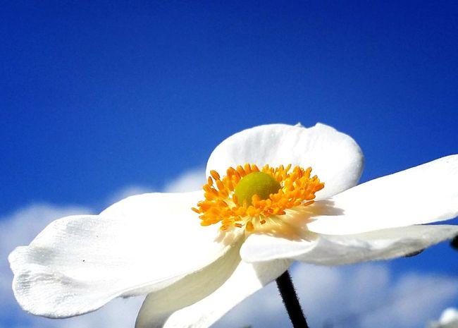 シュウメイギク 秋明菊 Flower Flower Collection Flowerlovers Single Flower EyeEm Nature Lover EyeEm Flower Naturelover Sky Skyflower Blue Sky Hokkaido Japan スマホ写真