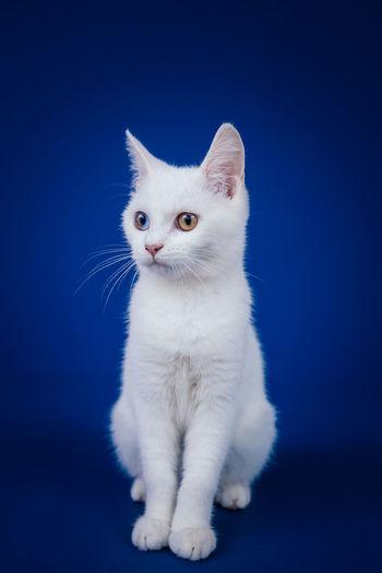 Portrait of white cat sitting against black background