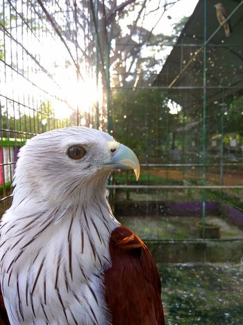 bird animal themes Animals in the Wild animal wildlife one animal Tree perching Bird Animal Themes Animals In The Wild Animal Wildlife One Animal Tree Perching Close-up Hawk Brahminy Kite