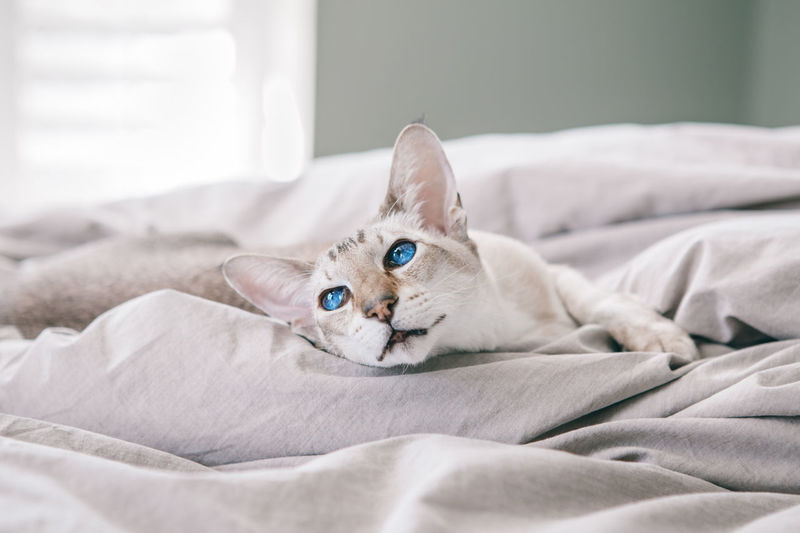 Blue-eyed oriental breed cat lying resting on bed at home looking away.