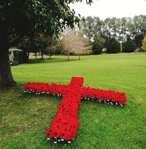 Anzac Day NZ Poppy Flowers Red Cross Anzac Day New Zealand World War 1 Remberence Tree Red Grass Green Color