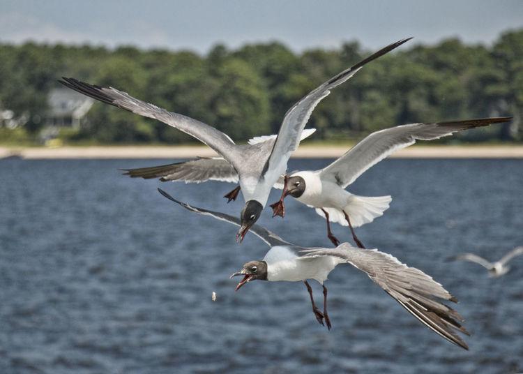 I got it! Bird Feeding Seagulls Feedingseagulls Ferryride Nature Seagulls Seagulls And Sea Seagulls Flying Over Me Seagulls In Flight Sky Spread Wings