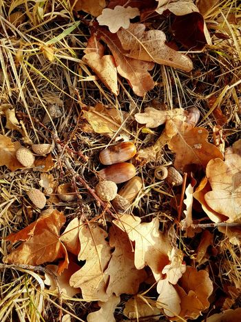 Autumn Autumn Colors Autumn Leaves Beauty In Nature Details Textures And Surfaces Pattern, Texture, Shape And Form Natural Pattern Natural Texture On The Ground Oak Leaves Oak Nut Oak Nuts