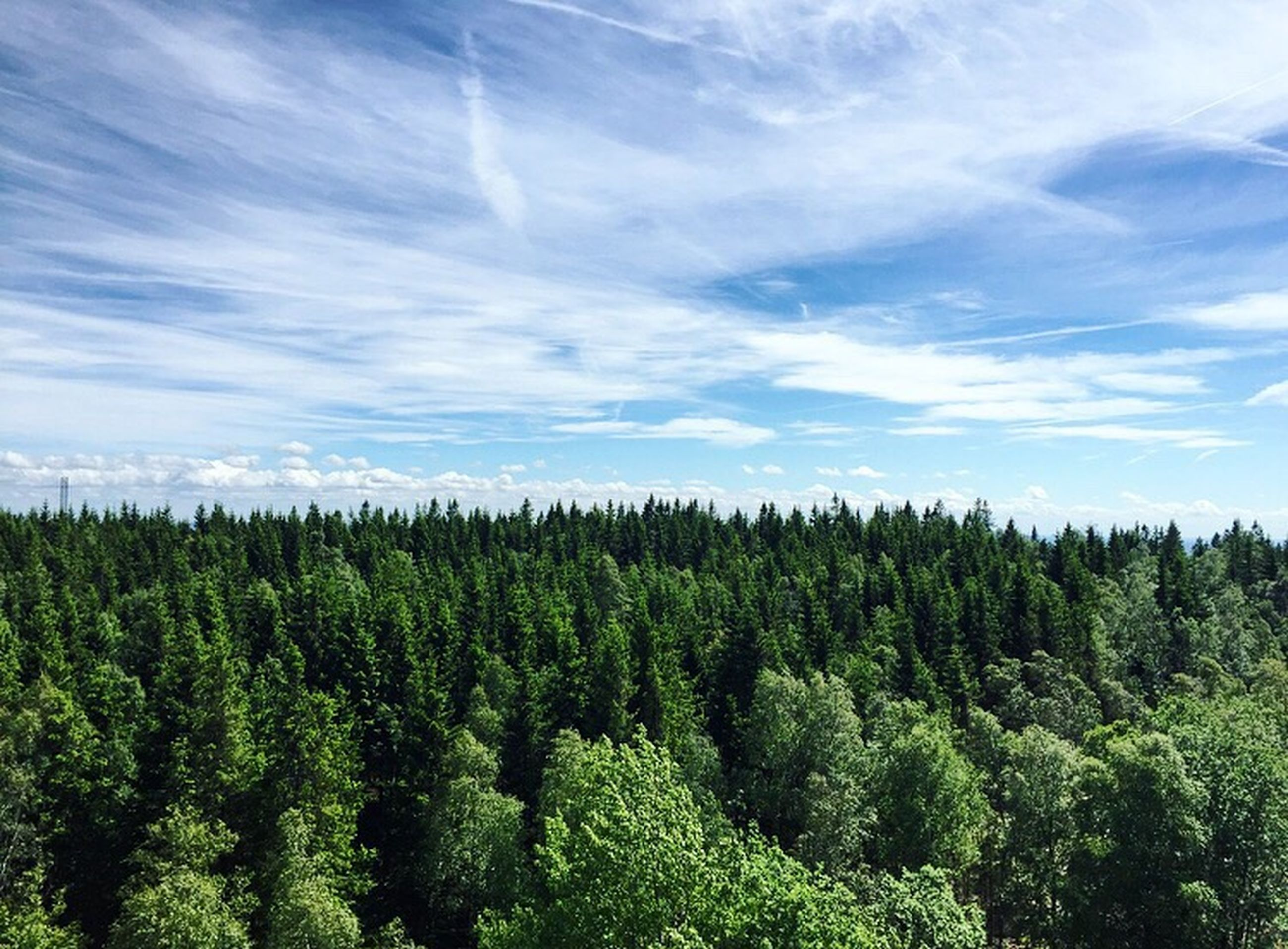 tree, forest, sky, nature, scenics, growth, beauty in nature, no people, pine tree, day, tranquility, green color, outdoors, landscape