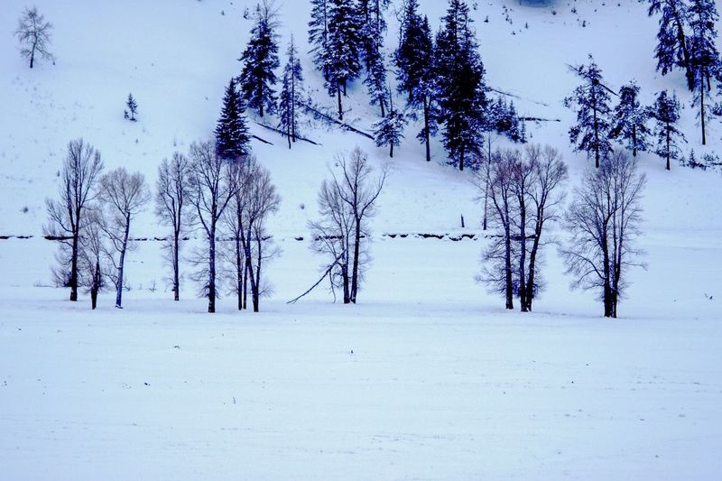 Yellowstone Trees in Winter Winter Cold Temperature Snow Plant Tree Tranquility Beauty In Nature Nature Scenics - Nature Land Tranquil Scene Covering Day Non-urban Scene Frozen No People Environment Growth Field Outdoors