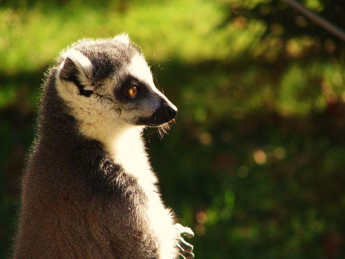 Lemure pensieroso One Animal Lemur Primo Piano Zoo Animal Themes Safari pombia