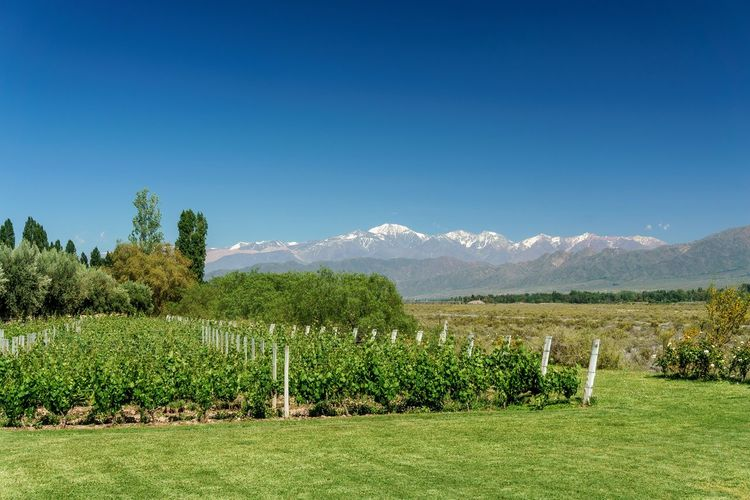 Vineyard in Uco Valley, Mendoza, Argentina Vineyard Grapes Vines Wine Uco Valley Mendoza Argentina Andes Andes Mountains Mountains Beauty In Nature Blue Sky Agriculture Nature Rural Scene Beauty In Nature Freshness Growth No People