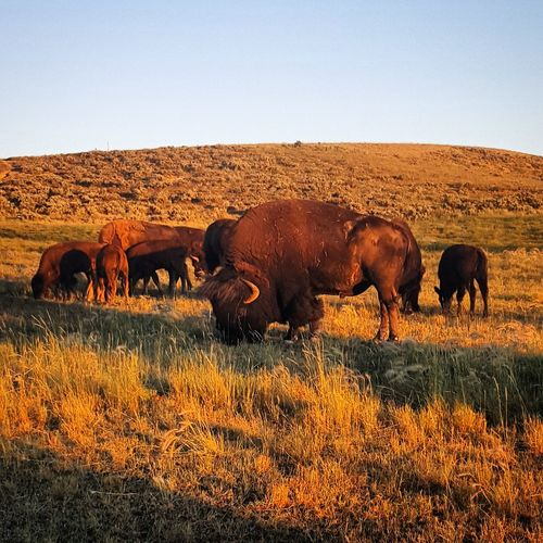 Animal Themes Animals In The Wild Beauty In Nature Buffalo Clear Sky Day Elephant Grass Landscape Large Group Of Animals Mammal Nature No People Outdoors Safari Animals Togetherness