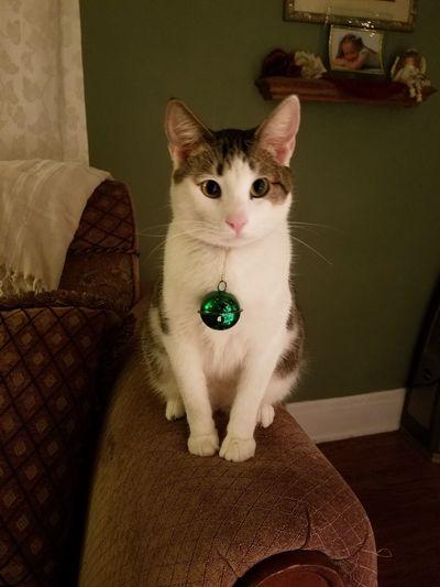 Pets Domestic Cat Looking At Camera Christmas Kitty! Animal Themes Cat Indoors