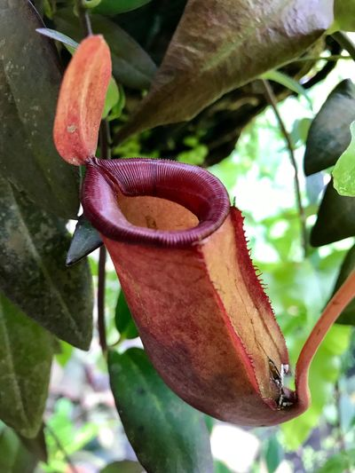 Pitcher Plant. Pitcher Plant Nepenthes  Nature Leaf No People Growth Close-up Beauty In Nature Plant Leafs Tropical Plants Tropical Climate Flora Botony Science.
