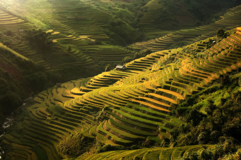 Mu Cang Chai, Vietnam landscape terraced rice field near Sapa. Mu Cang Chai rice fields stretching across mountainside in Vietnam. Landscape Agriculture Terrace Rural Scene Terraced Field Growth Field Land Environment Scenics - Nature Farm Beauty In Nature Plant Rice Paddy Tranquil Scene No People Tranquility Green Color Rice - Cereal Plant Nature Outdoors Plantation Rolling Landscape