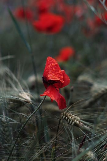 Rot Red Poppy