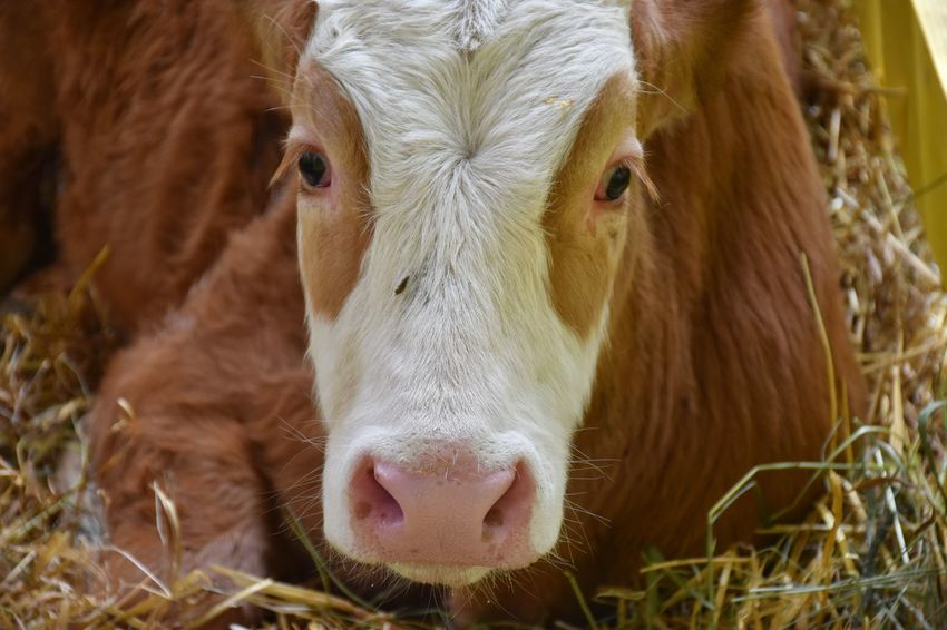 Animal Animal Body Part Animal Head  Animal Nose Animal Themes Brown Calf Cattle Close-up Cow Day Domestic Domestic Animals Domestic Cattle Mammal No People One Animal Outdoors Portrait Snout White