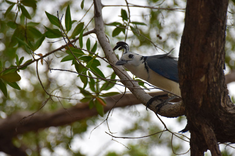white throated magpie-jay, costa rica Animal Themes Animal Wildlife Animals In The Wild Bird Branch Day Nature No People One Animal Outdoors Perching Tree