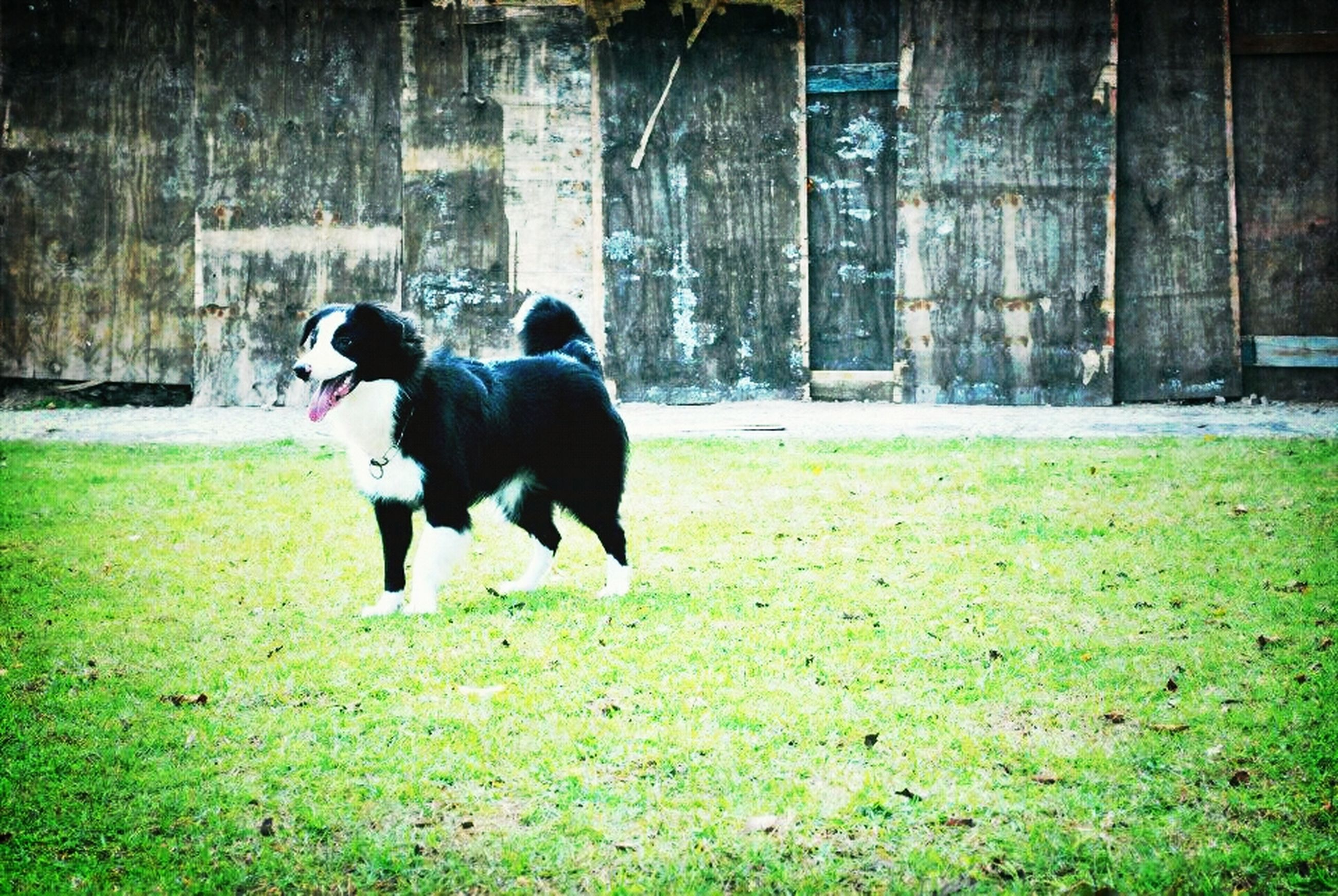 grass, domestic animals, dog, one animal, animal themes, pets, mammal, building exterior, full length, built structure, field, architecture, grassy, black color, standing, green color, day, lawn, outdoors, house