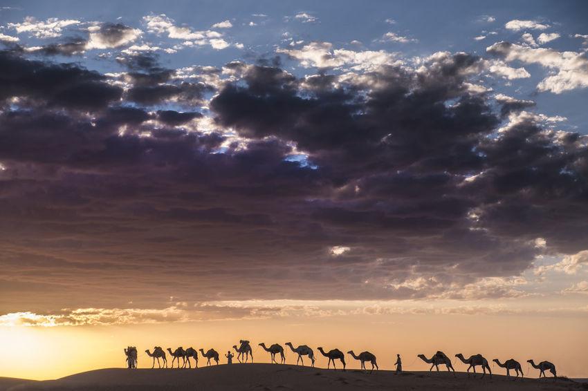 camel Caravan is crossing the Sahara desert at sunset and dramatic sky