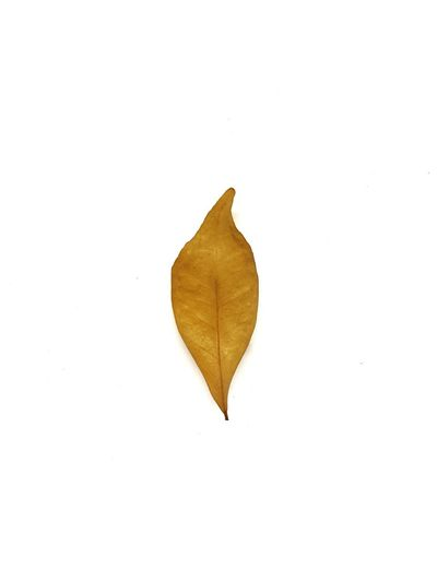 dried leaf on white background. Leaf White Background No People Close-up Studio Shot Nature Dried Leaves Plant Plant Part Leaf